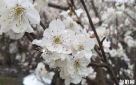 畢節市納雍縣厙東關鄉櫻花什么時候開