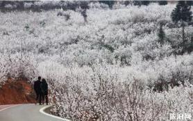 畢節納雍瓜仲河櫻桃花在哪里觀賞 什么時候開