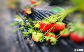 贵阳草莓采摘基地在哪里 地点-电话