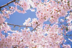 2020南京鸡鸣寺樱花几月开 樱花南京哪里比较好