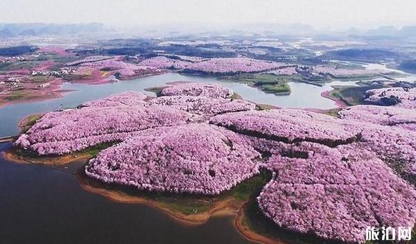 有多少日本人在中国_2020平坝樱花开了吗 平坝樱花什么时候开放_旅泊网