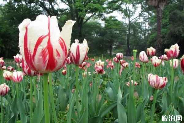 中山植物園郁金香在哪里 什么時候開