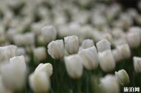 南京中山植物园郁金香什么时候开