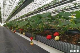 傅家邊空中草莓采
