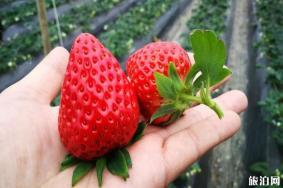 六盘水草莓采摘基地推荐