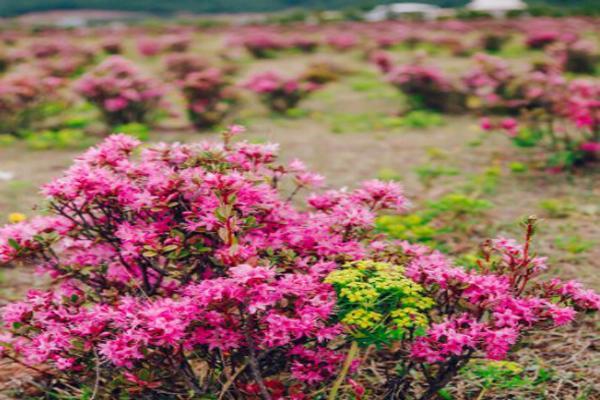 香格里拉杜鵑花海圖片