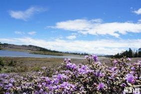 香格里拉市距离碧沽天池多远 碧沽天池杜鹃花