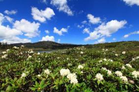 香格里拉杜鵑花在哪些地方有