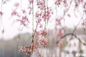 湖南省植物园樱花什么时候开