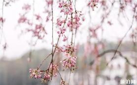湖南省植物園櫻花什么時候開