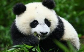 2020成都大熊猫繁育研究基地开放时间-购票方式
