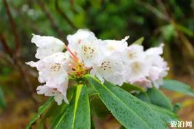 阿壩州杜鵑花觀賞地有哪些