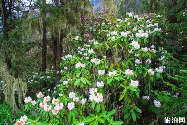 阿坝州杜鹃花观赏地有哪些