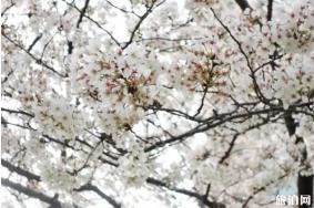 在武汉哪里可以看到樱花
