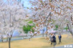 上海赏樱花哪里最好的地方 2020上海赏樱景点开放时间及预约指南