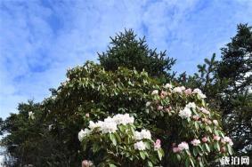 峨眉山杜鹃花在什么位置