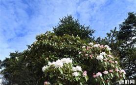 峨眉山杜鵑花在什么位置