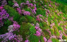 百靈山杜鵑花圖片 百靈山在哪-怎么去