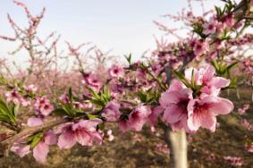 河南桃花什么时候开-樱花开放时间 2020河南花期预报