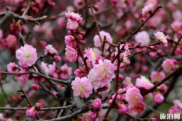 北京中山公園梅花在哪里 盛開圖片
