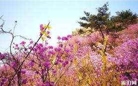 青島大珠山萬畝杜鵑在哪里 什么時候開