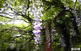 上海紫藤花在哪可以觀賞到