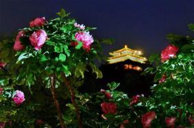 2020景山公園牡丹花開時間 北京恢復開放景區名單