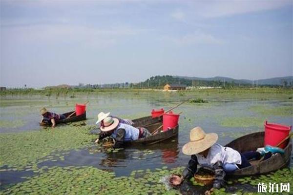 哪里生產莼菜 中國哪里的莼菜最好