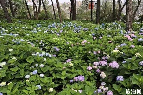 杭州繡球花在哪里看 杭州繡球花展時間2020