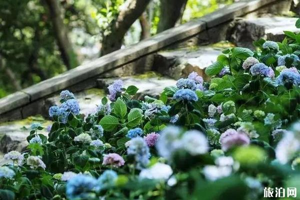 無錫哪里有繡球花 無錫繡球花景點推薦