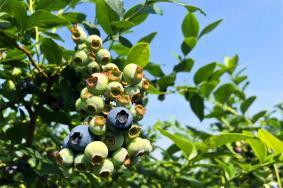 懷寧藍莓采摘基地推薦 藍莓旅游節舉辦