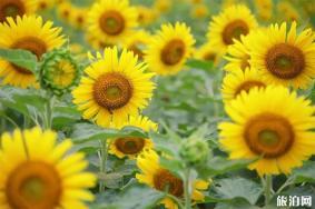 温州瓯海区半塘园向日葵什么时候开