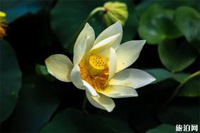 北京圆明园古莲开花 7月绽放