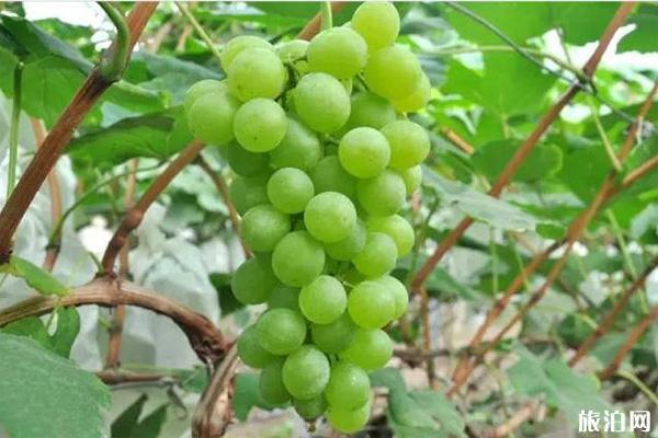 上海嘉定文興葡萄園藝場地址和價格 上海嘉定文興葡萄采摘節活動攻略2020