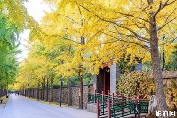 北京圆明园银杏大街的最佳观赏期是什么时候?