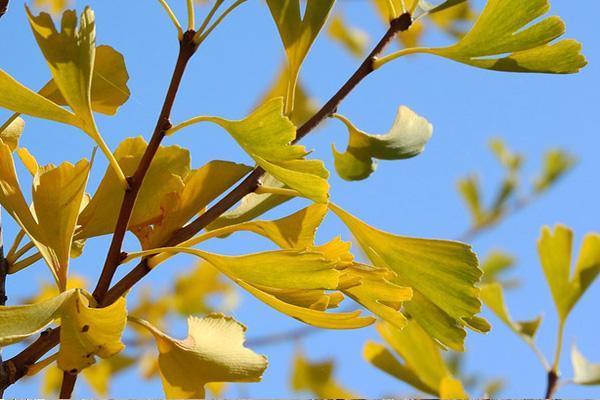南昌在哪里能看到千年银杏树?
