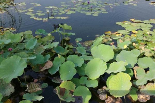 山东微山湖湿地红荷旅游区门票 什么时候去最好