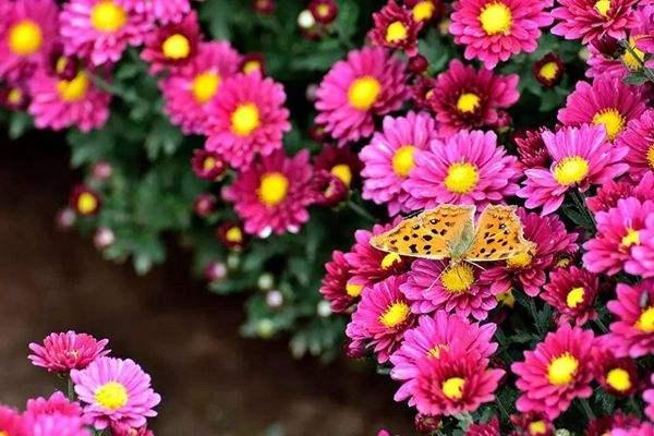 2020西安植物园秋菊花展活动安排