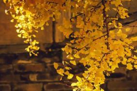 2020北京大覺寺銀杏最佳觀賞時間 銀杏樹多少年了