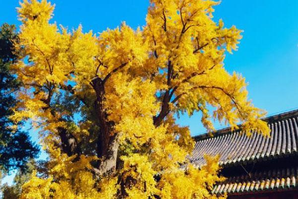 2020北京大觉寺银杏最佳观赏时间 银杏树多少年了