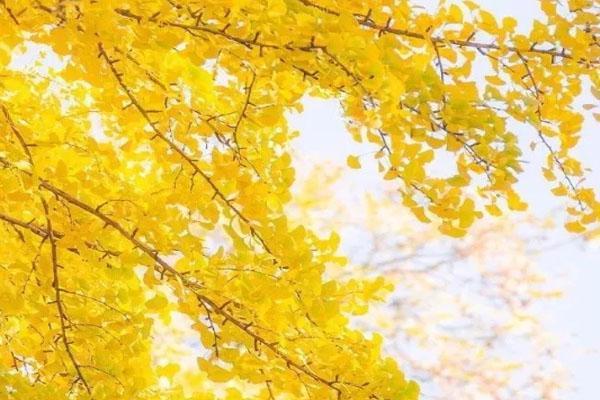 2020韶關?帽子峰銀杏什么時候看最好 10月銀杏黃了嗎