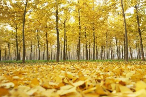 銀杏一般什么時候黃 國內銀杏最美的地方