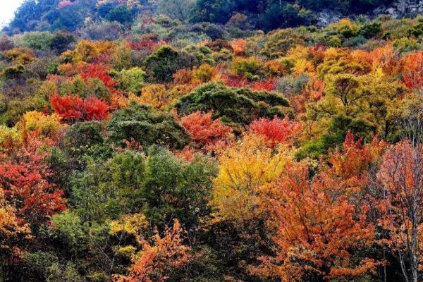 四川红叶观赏指数2020 11月四川有红叶的地方