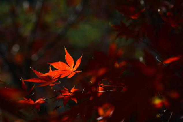 岳麓山的枫叶红了吗-观赏路线推荐