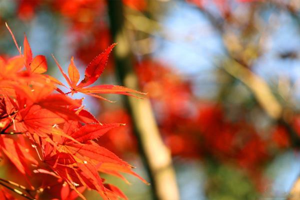 岳麓山的楓葉紅了嗎-觀賞路線推薦