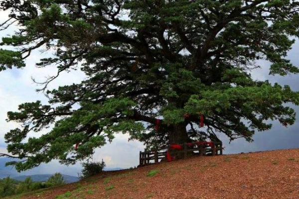 2020千年老龙树旅游攻略 千年老龙树在哪里