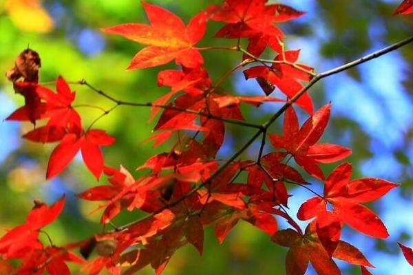 2020湖北神農架紅楓什么時候紅 紅楓最佳觀賞時間