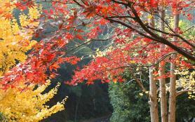 2020年12月岳麓山枫叶红了吗 岳麓山观赏路线推荐