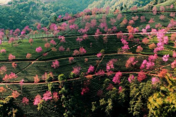 2020無量山櫻花谷最美時間 無量山櫻花谷什么時候去最合適