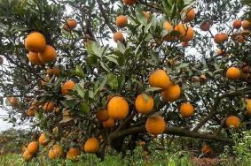 2020成都金堂中國臍橙之鄉門票交通天氣 金堂中國臍橙之鄉旅游攻略